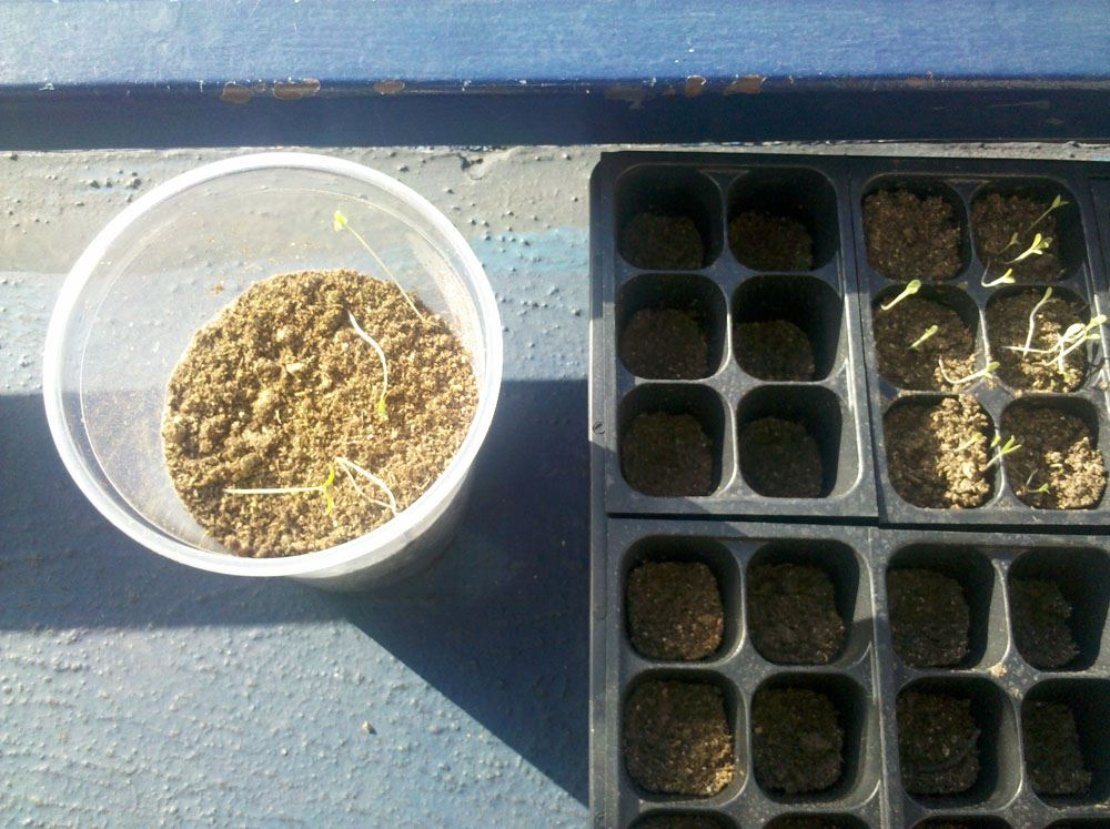 A clear plastic cup and a black tray with seedlings in them