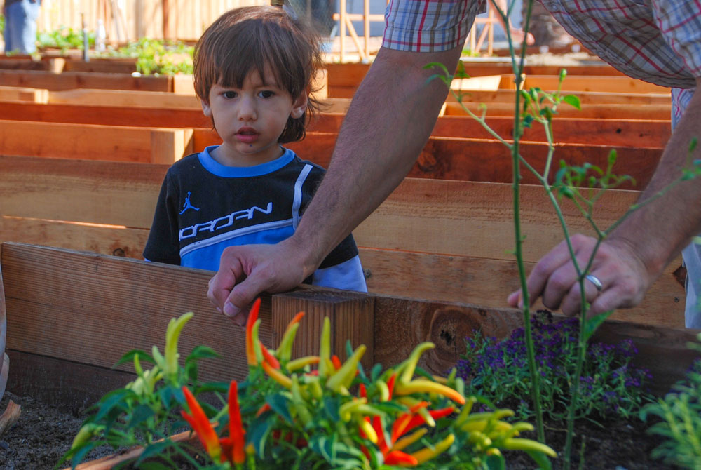 Little boy looking at the pepper plot