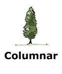 Drawing of columnar tree type