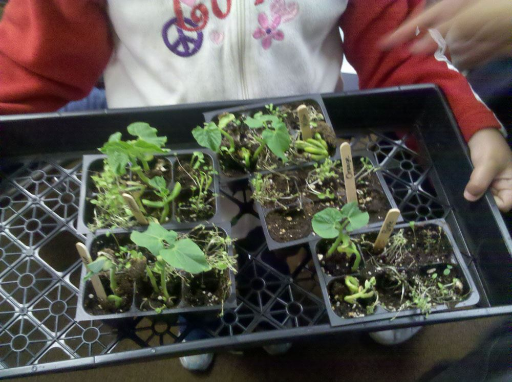 Plantings growing in the seedling trays